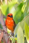 Cardinal ou Foudi de Madagascar - Espèce introduite dans l'île