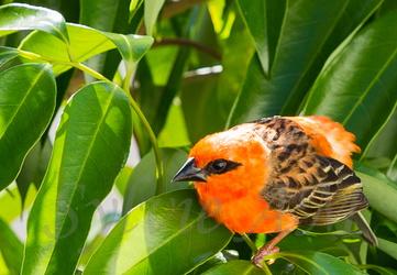 Cardinal ou Foudi de Madagascar