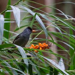 Bulbul de La Réunion