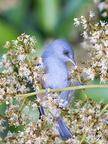 Oiseau lunettes gris ou Zoizo blanc - Espèce endémique de l'île