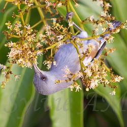 Oiseau lunettes-gris ou Zoizo blanc ou Zosterops des Mascareignes
