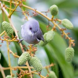 Oiseau-lunettes gris