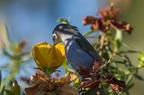 Oiseau lunettes vert - Espèce endémique de l'île