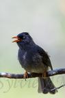 Bulbul de La Réunion ou Merle pays - Espèce endémique de l'île