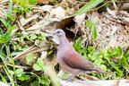 Tourterelle malgache ou Pigeon Ramier - Espèce indigène
