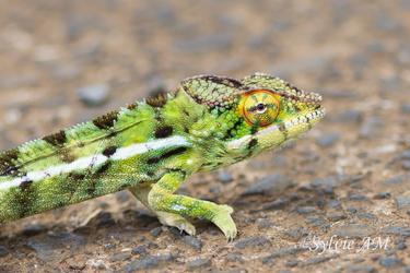 Caméléon mâle