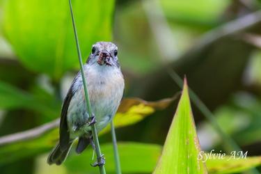 Tarier de La Réunion femelle