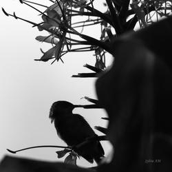 Oiseau Lunetttes gris