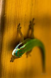 Gecko vert de Manapany
