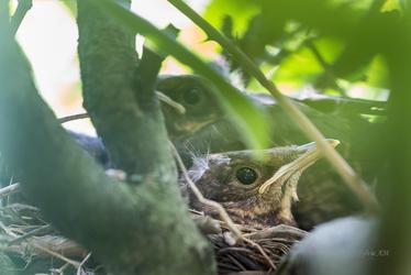 Merle noir, poussins au nid