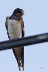 Hirondelle rustique femelle