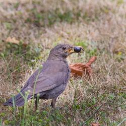 Merle noir femelle nourrissage des poussins