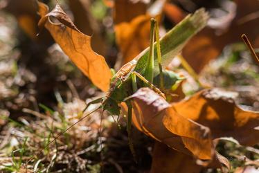Sauterelle des chênes