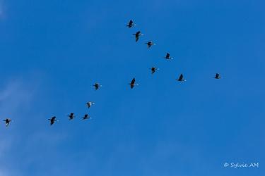 Vol de grands cormorans