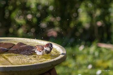 Moineau au bain