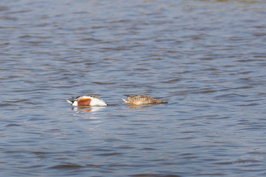 Canard souchet mâle et femelle